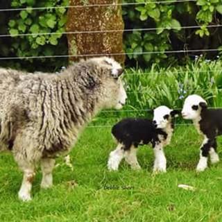 sheep #heritagesheep #travel #ecotourism