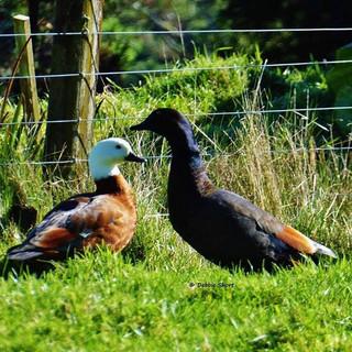 #paradise #ducks #geese #grass #farm #na
