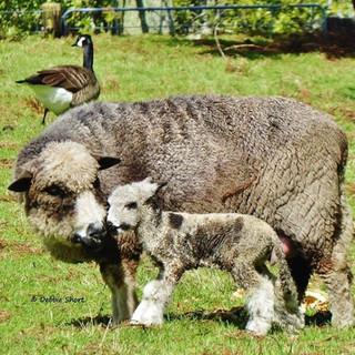 lamb with sheep.jpg