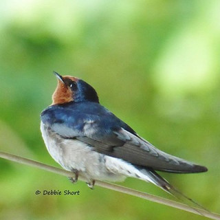 Welcome swallow #birdphotography #birdin