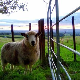 Mount Tutu sheep #sheep #farm #mounttutu