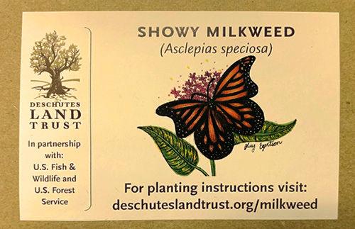 Bend Milkweed Seeds.jpg