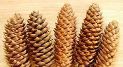 Large Pine Cones HP.jpg
