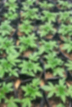 Seedlings for HP.jpg