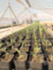 Milkweed Plants in Greenhouse sm.jpg