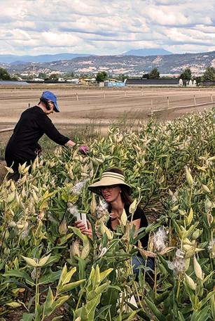 Collecting native milkweed seed