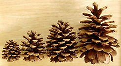 Ponderosa Pine Cones HP.jpg