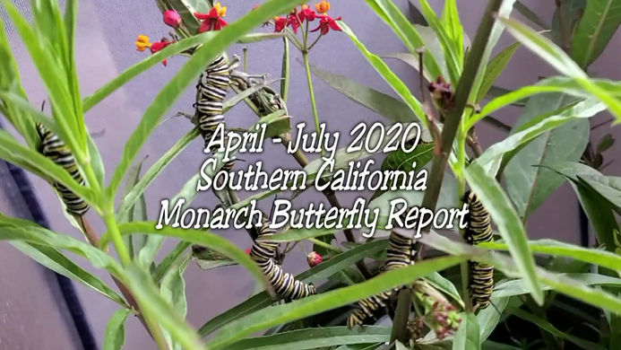 Monarchs in Southern California