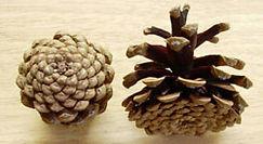 Medium Pine Cones HP.jpg