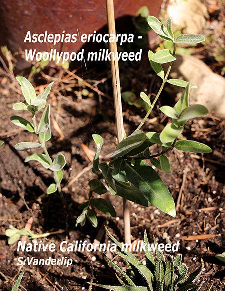 IMG_4128 woollypod milkweed WM sm.jpg