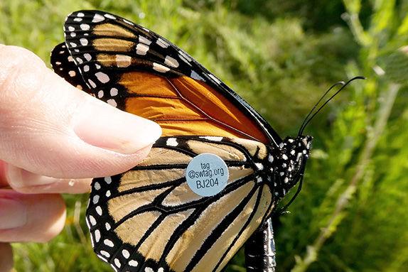SWMS tagged monarch sm.jpg