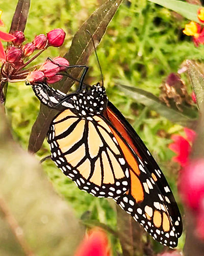 Monarch photo.jpg
