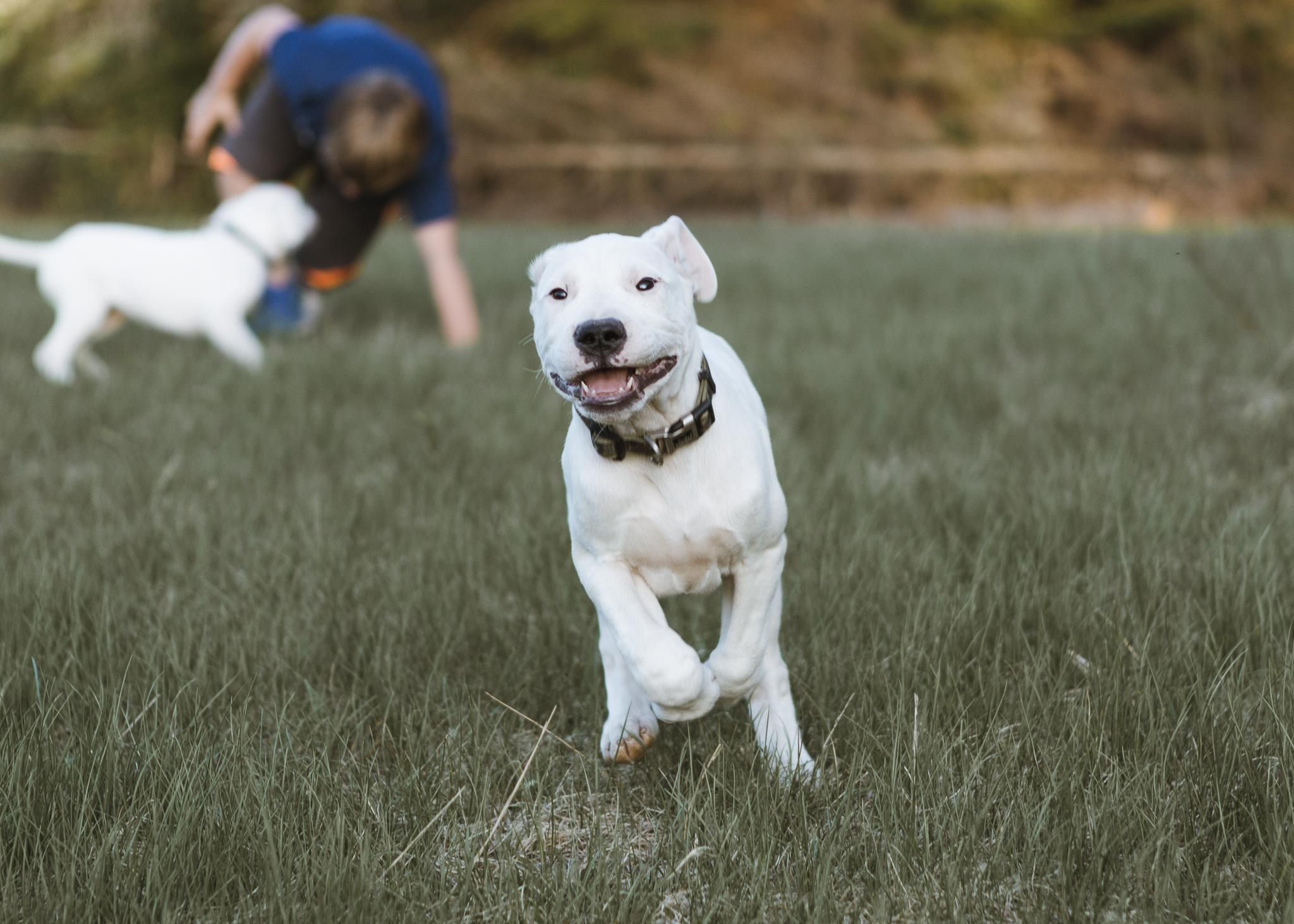 Dogo Argentino Puppy