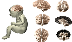 Fetal Brain - and Feto.png