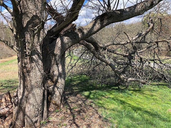 Old Apple Tree - $100