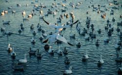 Snow Geese #2