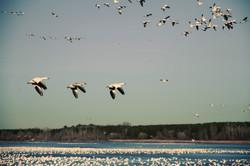 Snow Geese #3