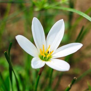 Thunder Lily