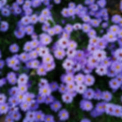 Purple-aster-flower-meaning-1024x1024.jp