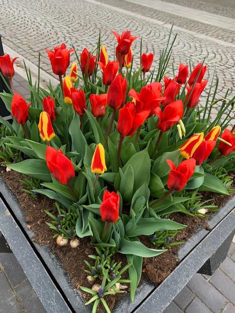 tulips along streets.jpg