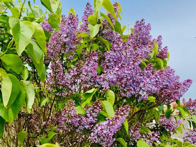 Lilacs blooming, aahh.jpg