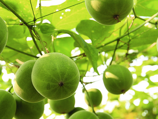 Monk Fruit! The Future is Sweet!