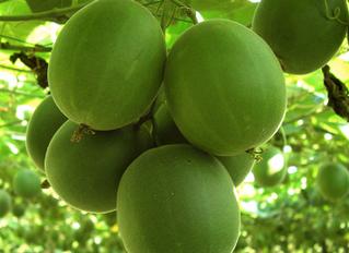 Monk Fruit! Sweetening the Future