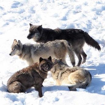 wolf_pic.jpg