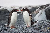 Couple de pingouins