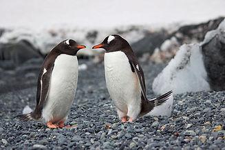 Paar Pinguine