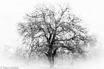 Texas Oak in Winter