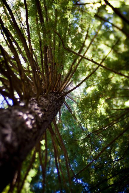 CA Redwood