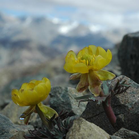 Ranunculus haastii, Foggy Peak