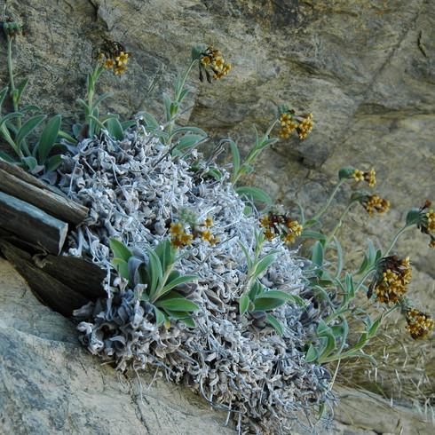 Myosotis macrantha, Eyre Creek