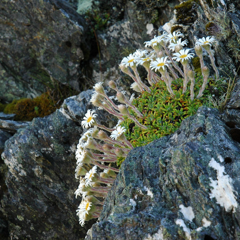 Celmisia philocremna, Eyre Creek
