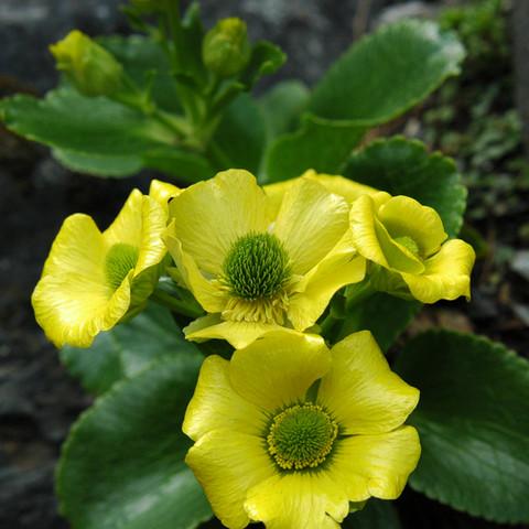 Ranunculus godleyanus, Sudden Valley