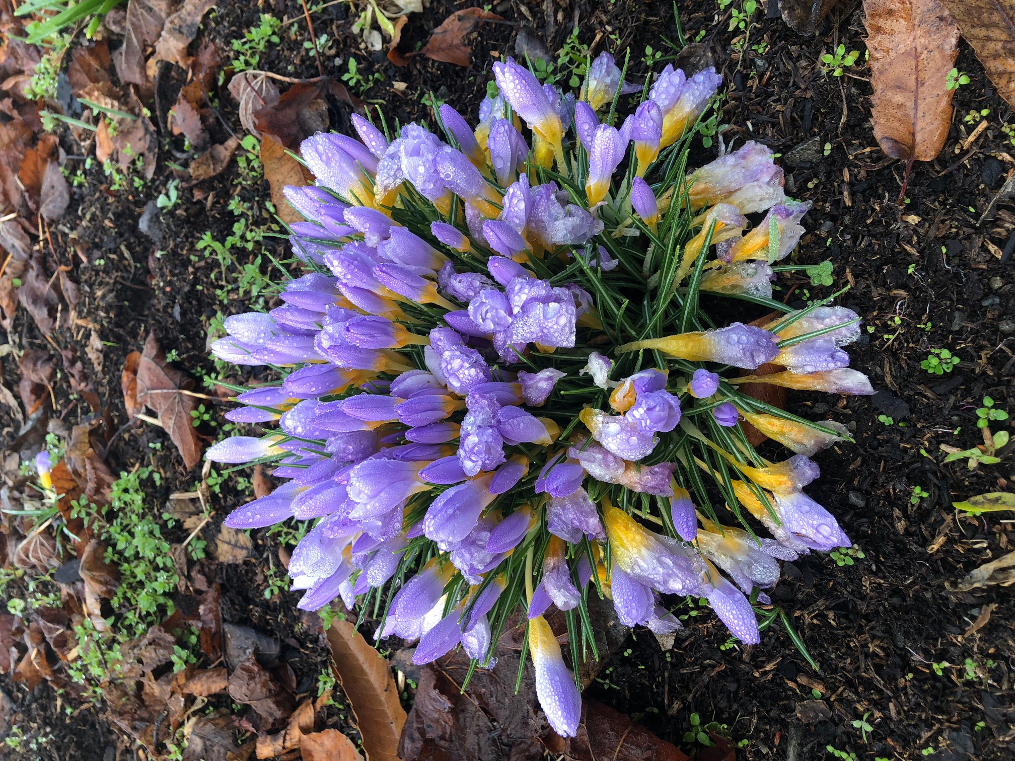 Crocus sp. S Pickford