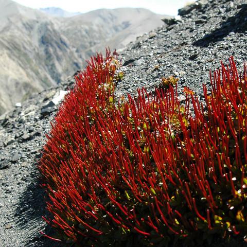 Epilobium porophyrium, Mt Hutt