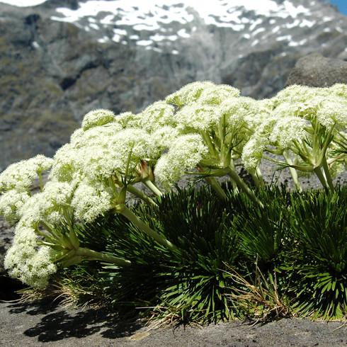 Aciphylla congetsa, Gertrude Saddle