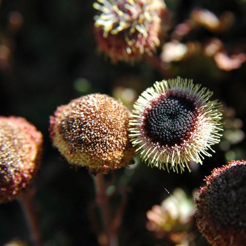 Leptanella atrata dendyi, Mt Lyford