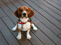 a-tri-colored-beagle-dog-posed-sitting_H