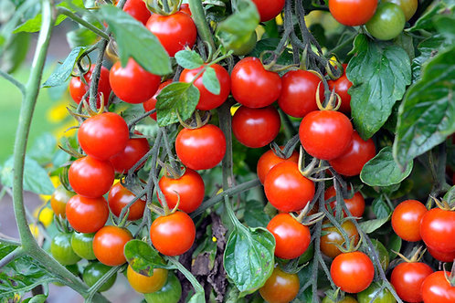 Cherry Tomato Seedling