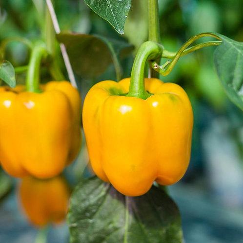 Bell Pepper: CA Gold, 6-pack
