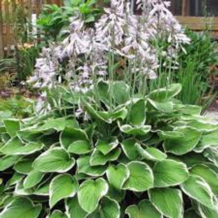 Hosta, variegated shade plant - small, medium, large