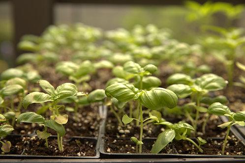 Basil Seedlings, 6-pack