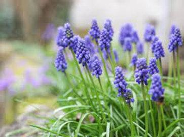 Blooming Grape Hyacinths
