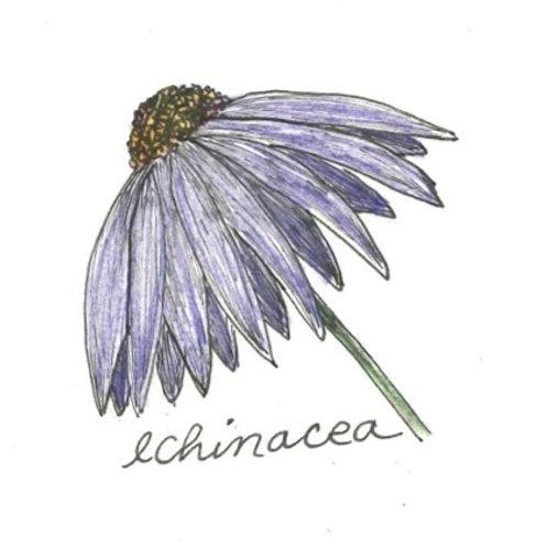Echinacea, seeds