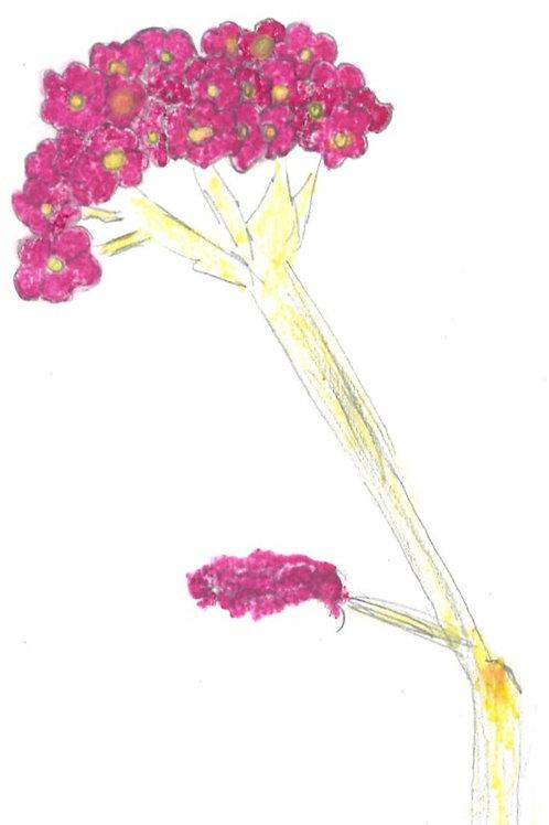 Yarrow, seeds