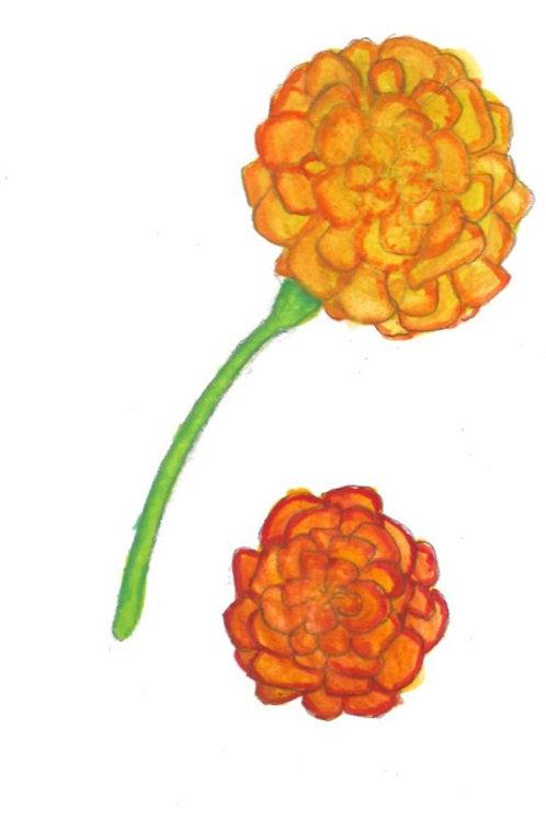 Marigold, seeds