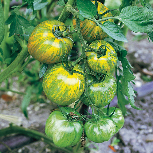 Green Zebra Tomato Seedling